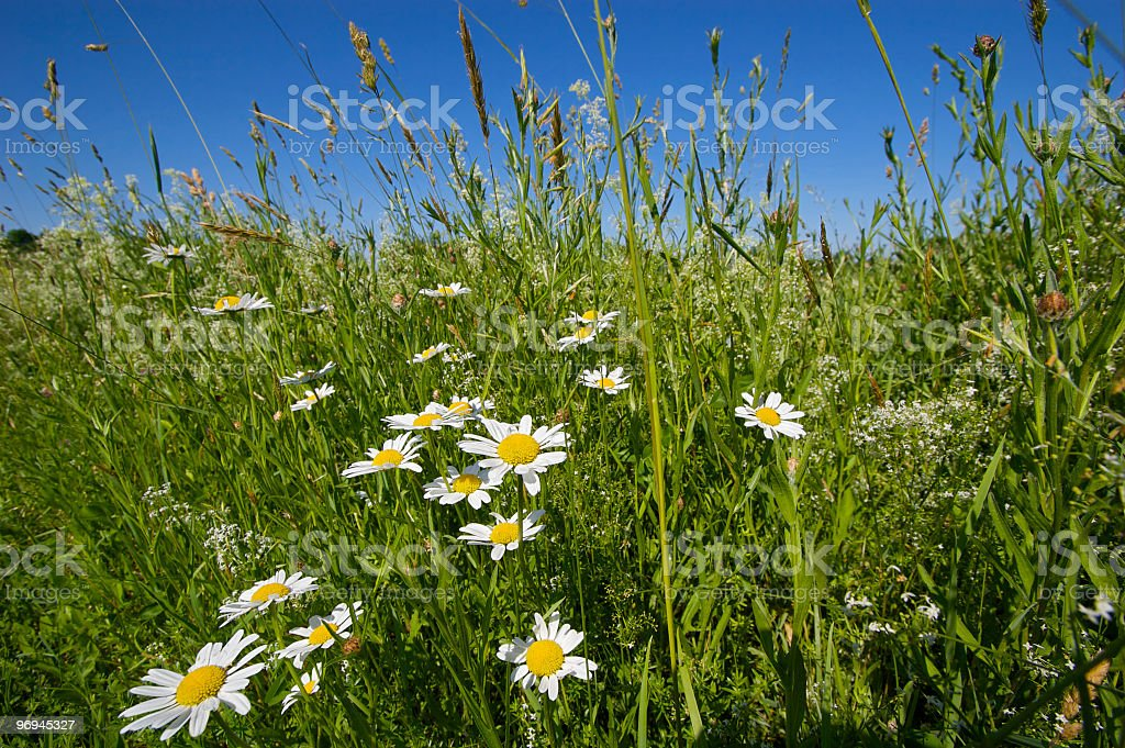 Daisies amongst a large green field royalty-free stock photo