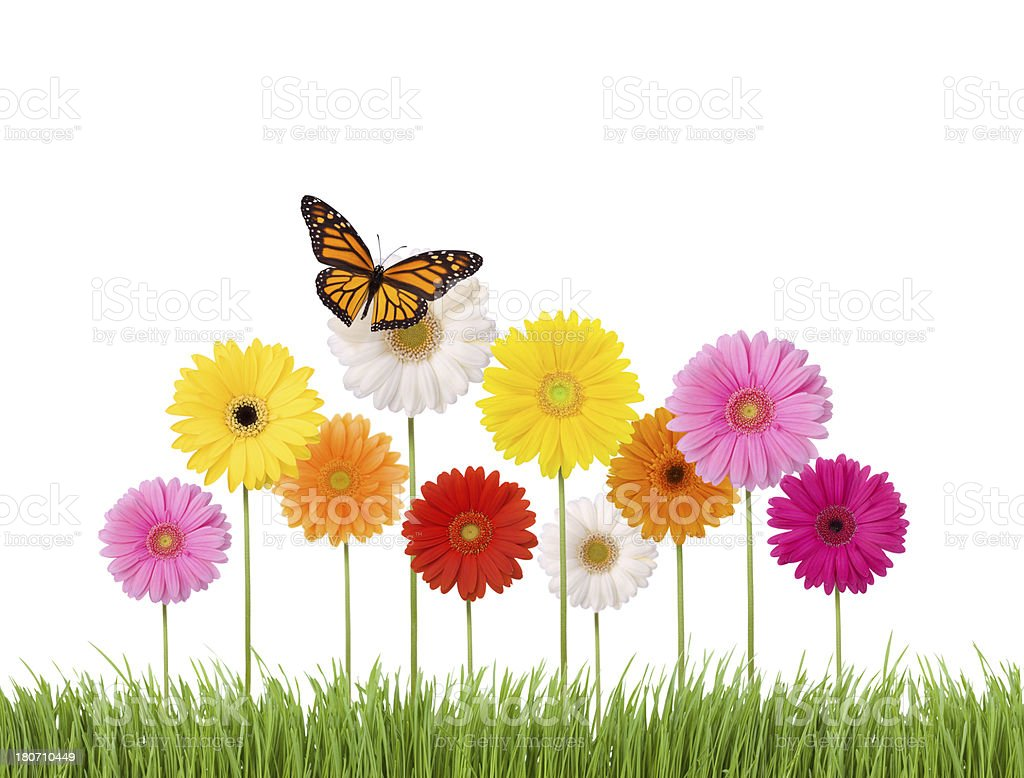 Daisies and a butterfly royalty-free stock photo