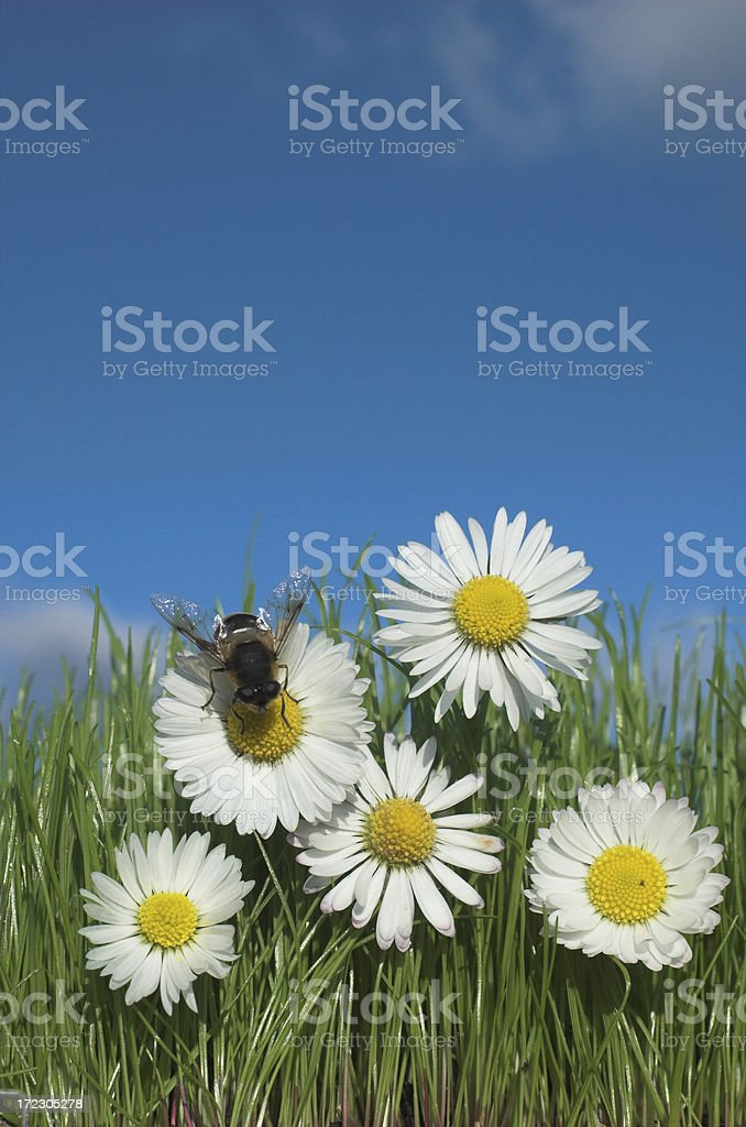 daisies and bee royalty-free stock photo