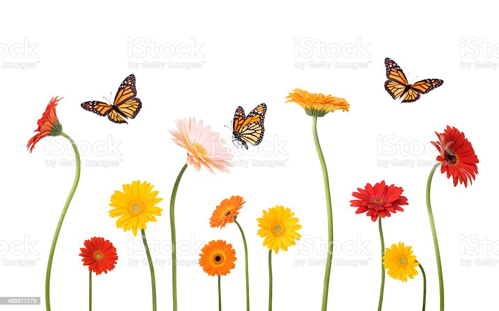 Daisies and Butterflies stock photo