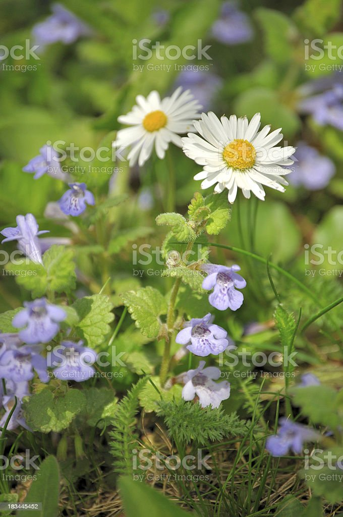 Daisies and catsfoot in a meadow stock photo