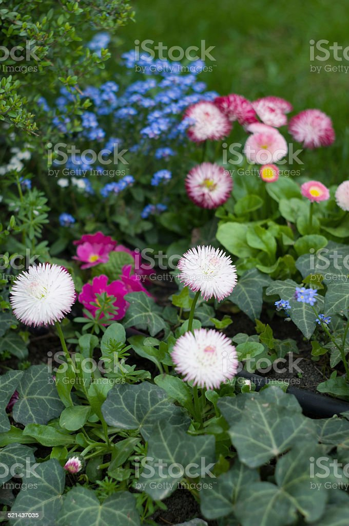 Daisies and forget-me-not flowers close-up stock photo