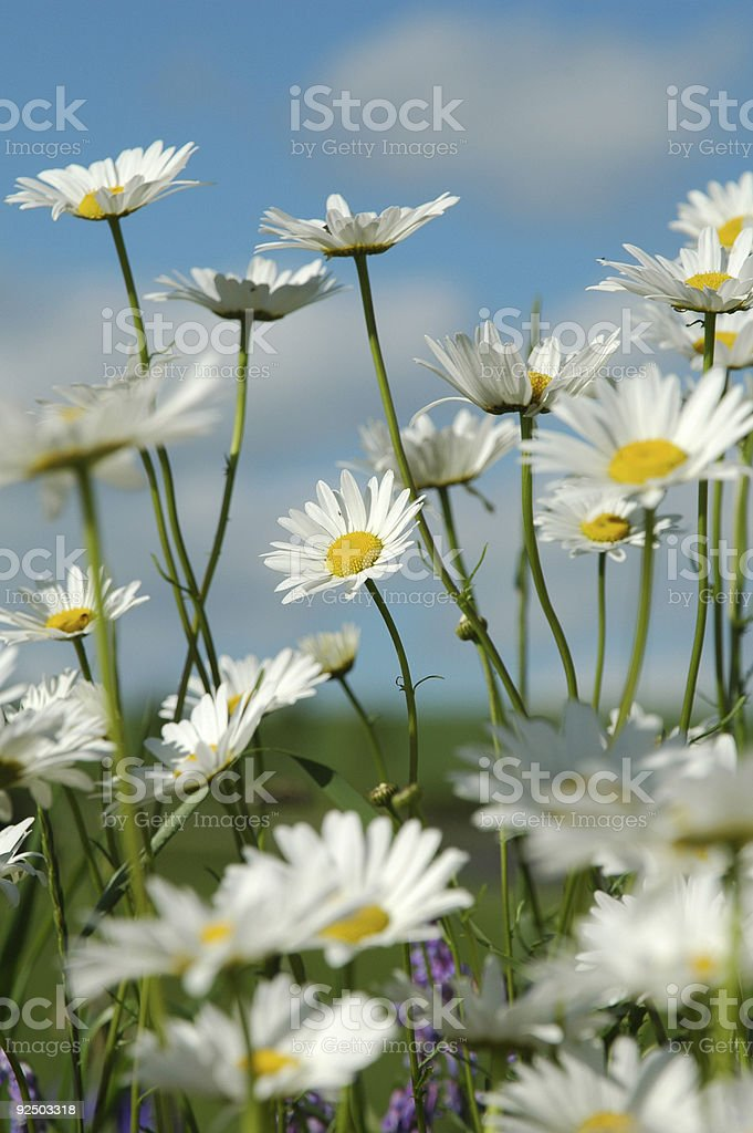 Daisies and Sky royalty-free stock photo