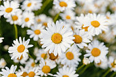 istock Daisies. Chamomile. Many flowers with white petals. 1256904585