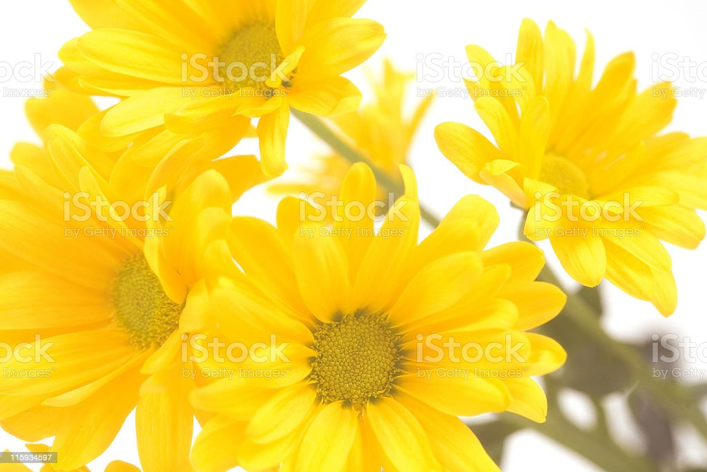 Daisies Close - Up royalty-free stock photo