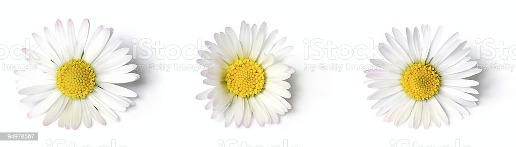 daisies close-up stock photo