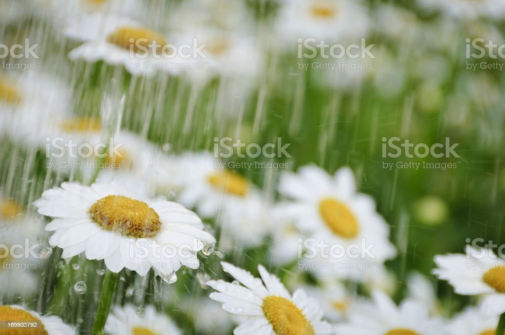 Daisies during a spring shower stock photo