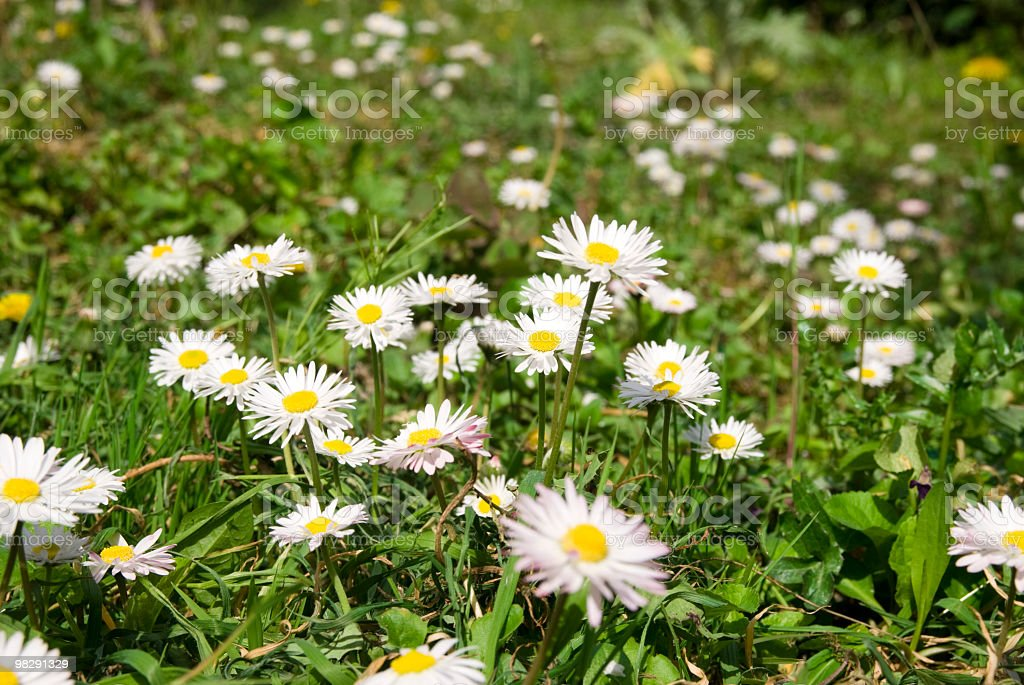 daisies field full of flowers in spring royalty-free stock photo