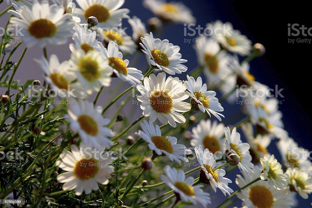 Daisies I royalty-free stock photo