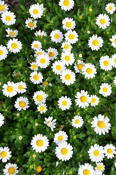 Daisies in a Garden stock photo