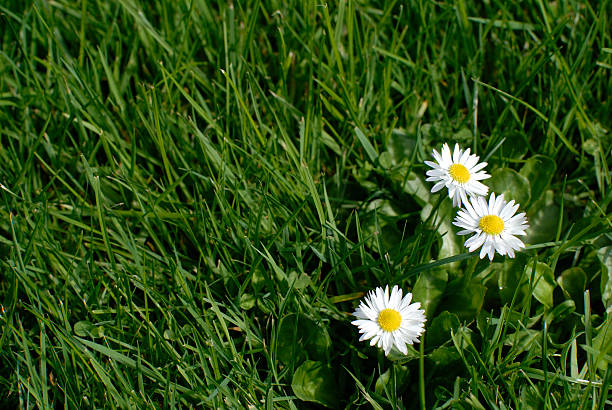 daisies in a grass field stock photo