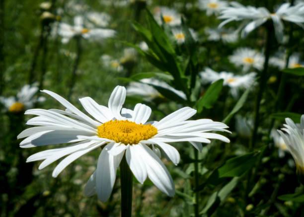 Gänseblümchen auf einer Wiese – Foto