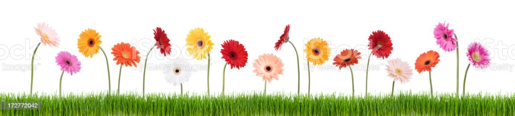 Daisies in a Row (XXL)  Agricultural Field Stock Photo