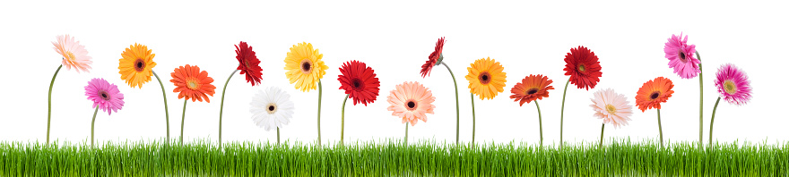 Daisies In A Row Stock Photo - Download Image Now