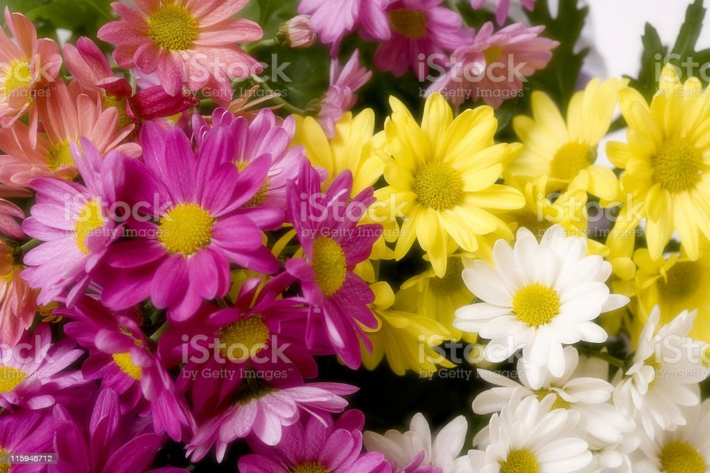 Daisies in Soft Focus stock photo