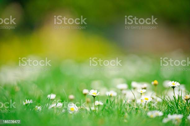 Photo of Daisies in spring
