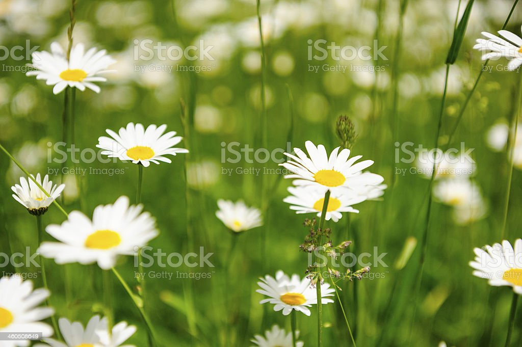Daisies in spring royalty-free stock photo
