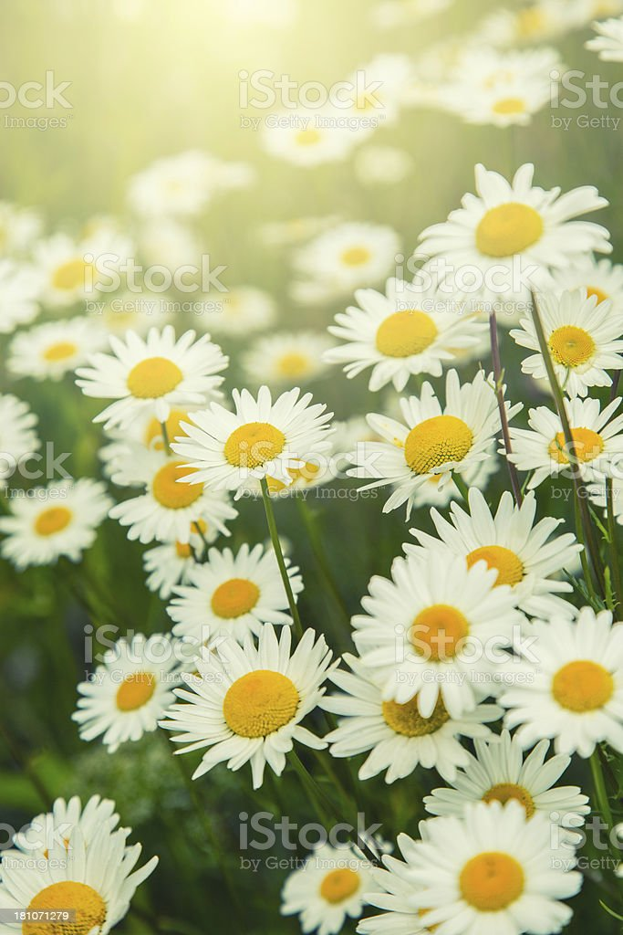 Daisies in Sunlight royalty-free stock photo