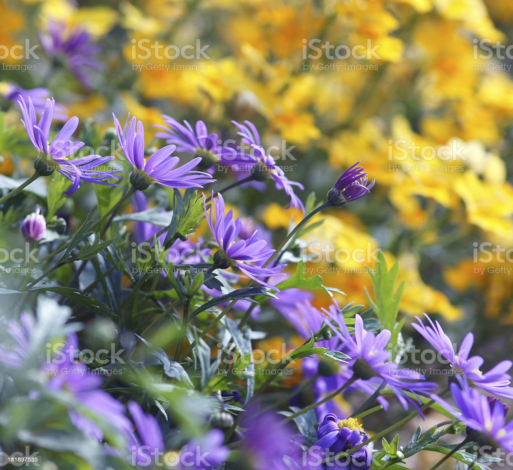 Daisies in the counter-light royalty-free stock photo