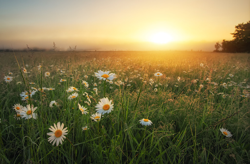 Daisies in the field at sunrise. Meadow with flowers and fog at sunset.