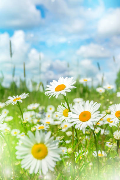 Daisies in the field. stock photo