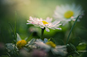 Daisies in the grass- close up