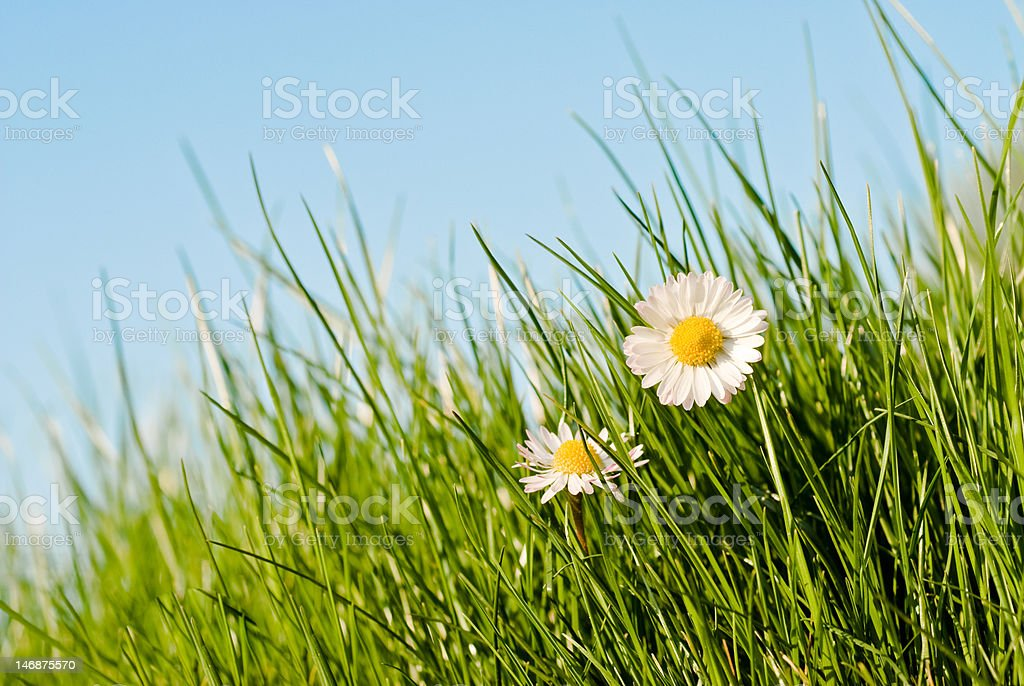 daisies in the grass stock photo