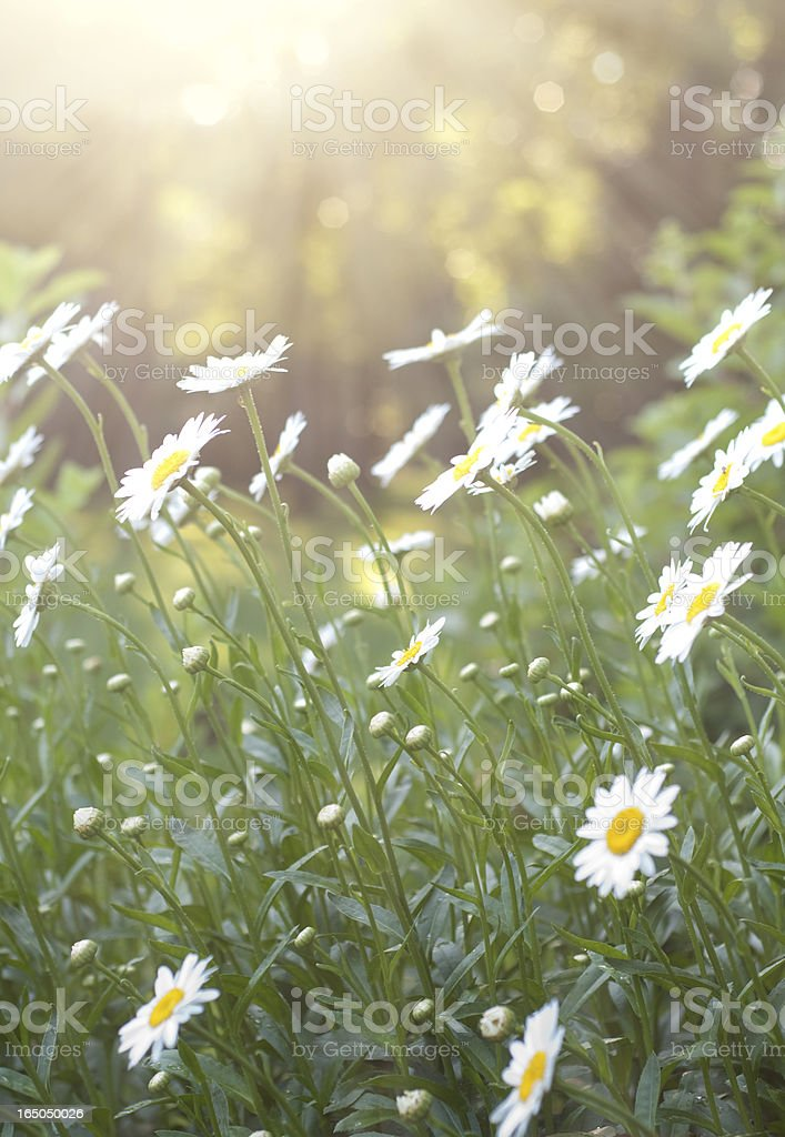 Daisies in the sunlight royalty-free stock photo