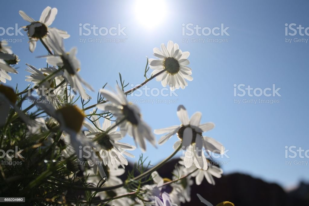 Daisies in the sunlight stock photo