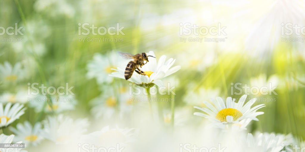 Daisies in the sunlight with bee on a blooming flower stock photo