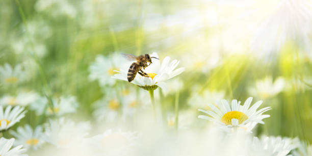daisies in the sunlight with bee on a blooming flower - ape foto e immagini stock