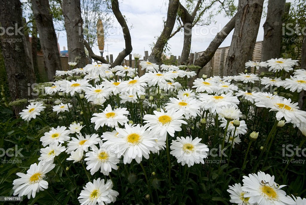Daisies in woodland garden royalty-free stock photo