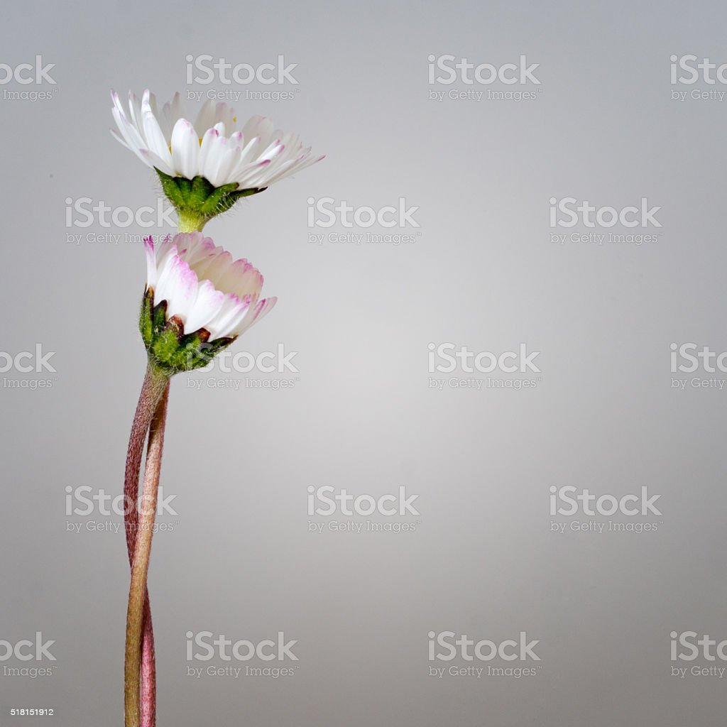 Daisies intertwined, embracing. Comfort, support concept. stock photo