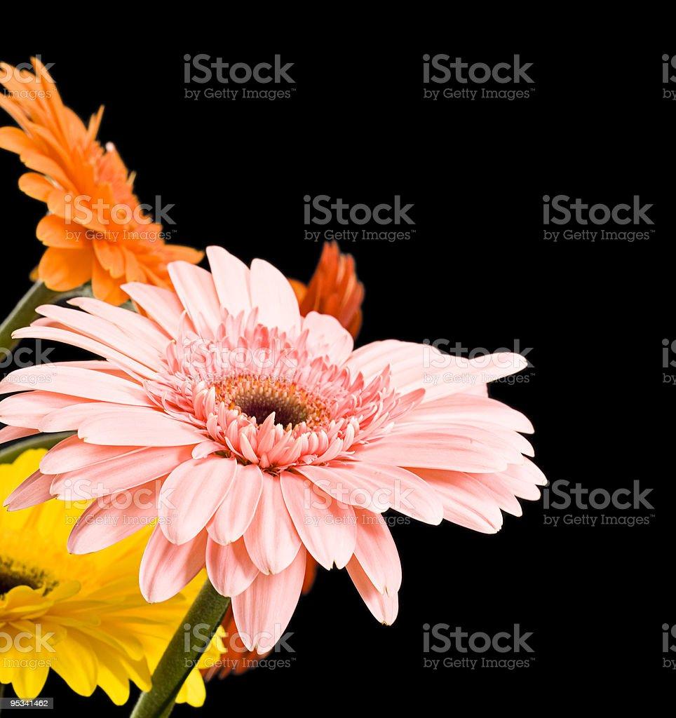 daisies aislado en negro - foto de stock