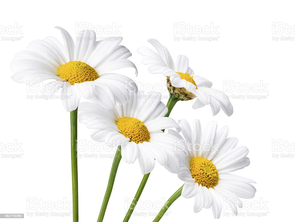 Daisies Isolated whit Clipping Path stock photo