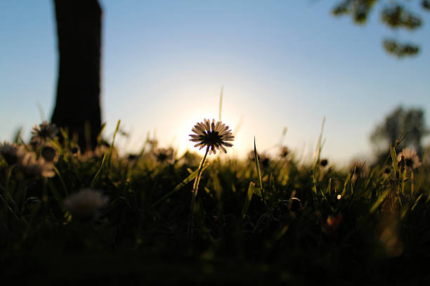 daisies last light daisy  abjure stock pictures, royalty-free photos & images
