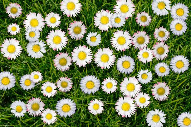 daisies meadow stock photo
