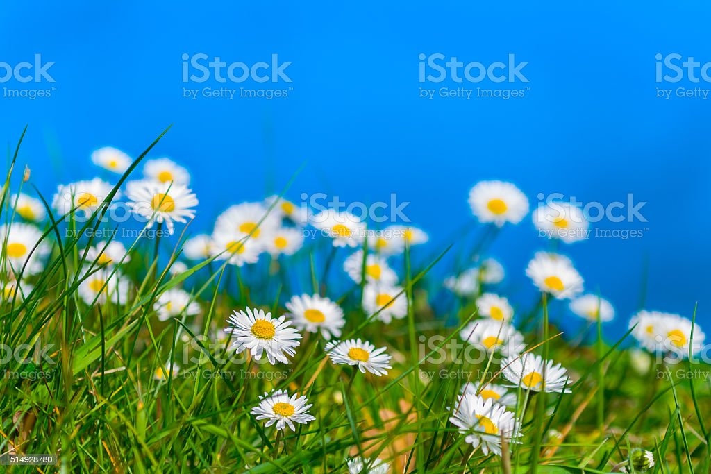 daisies on a blue background (flowers) stock photo
