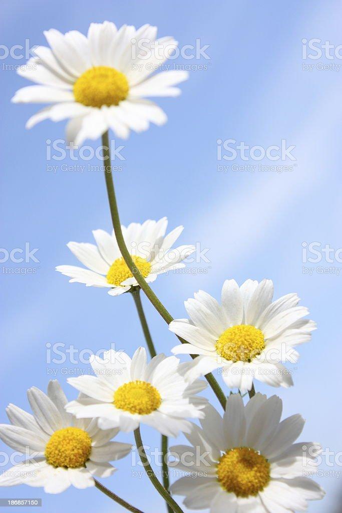 Daisies on a Blue Sky stock photo