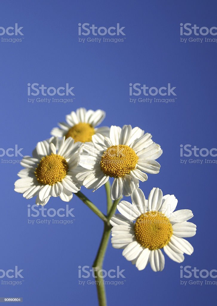Daisies on Blue Sky royalty-free stock photo