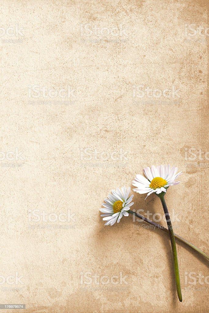 Daisies on cardboard royalty-free stock photo