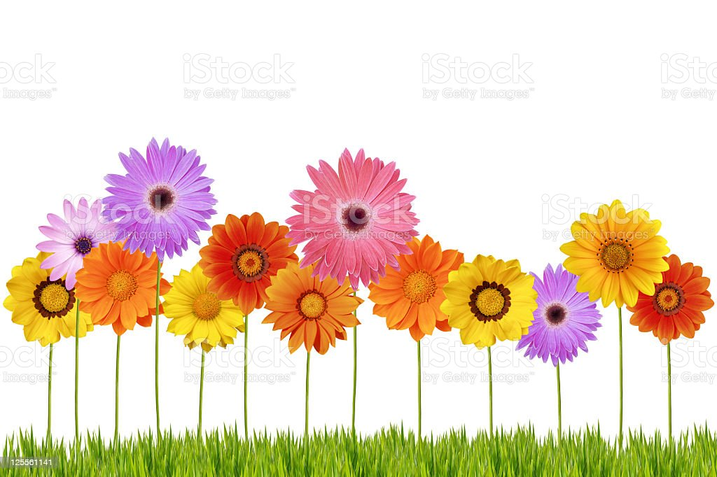 Daisies on Grass royalty-free stock photo