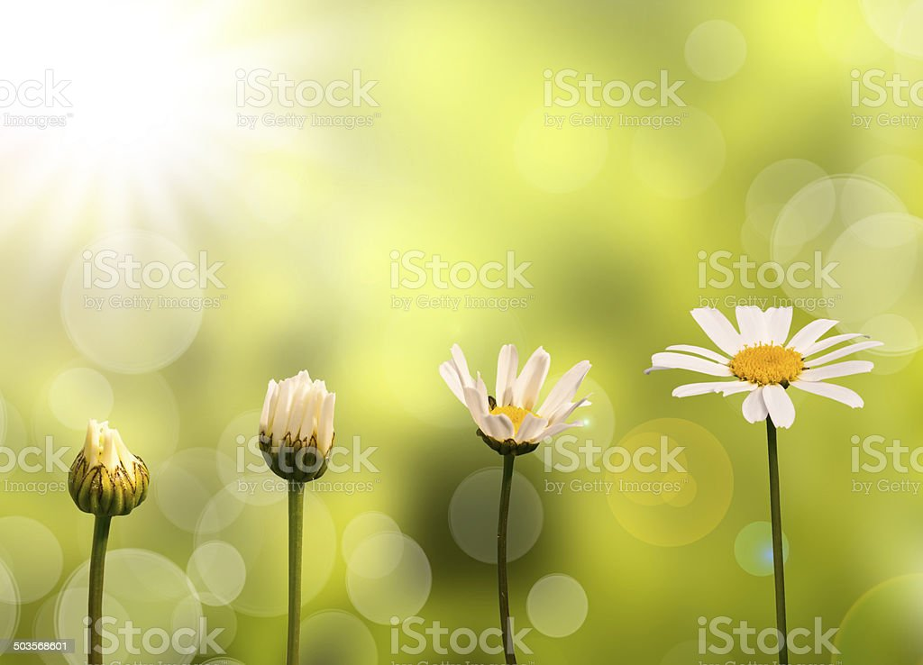 Daisies on green nature background, stages of growth stock photo