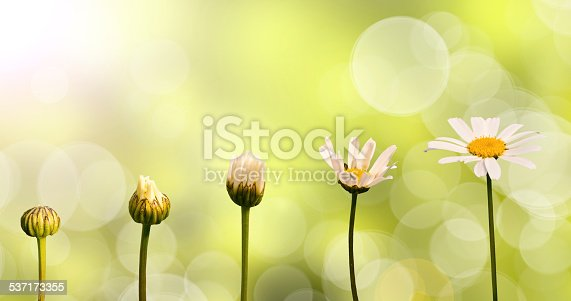 istock Daisies on green nature background, stages of growth 537173355