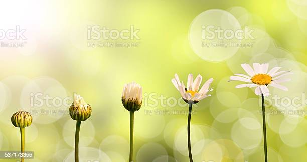 Daisies on green nature background, stages of growth