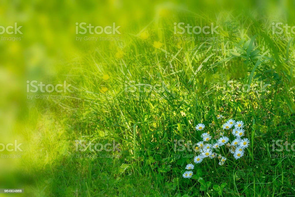 Daisies on the meadow in spring royalty-free stock photo