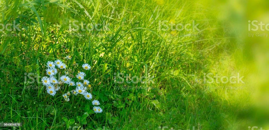 春天草地上的雛菊 - 免版稅光圖庫照片