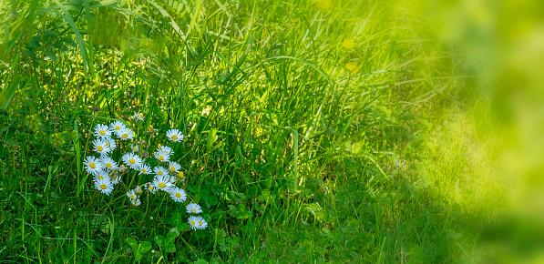 春天草地上的雛菊 照片檔及更多 光 照片