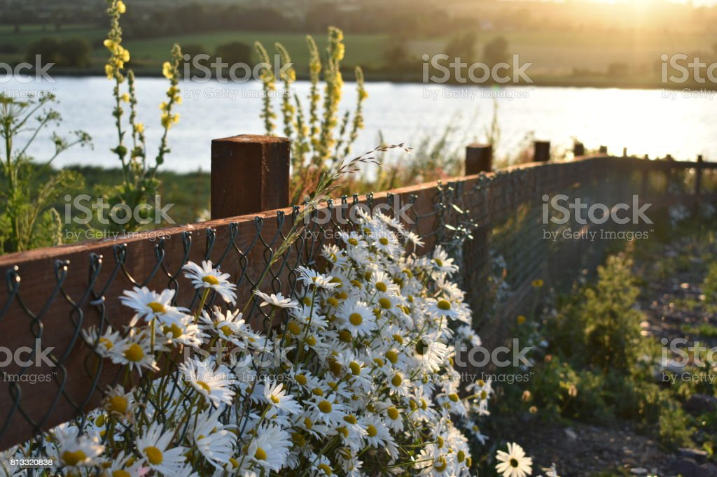 Daisies on the Roadside at Sunset stock photo