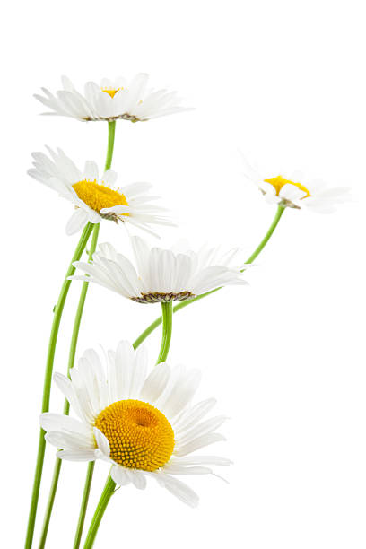 Daisies on white background stock photo